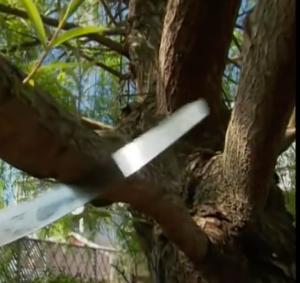 Tree trimming - tree pruning san antonio